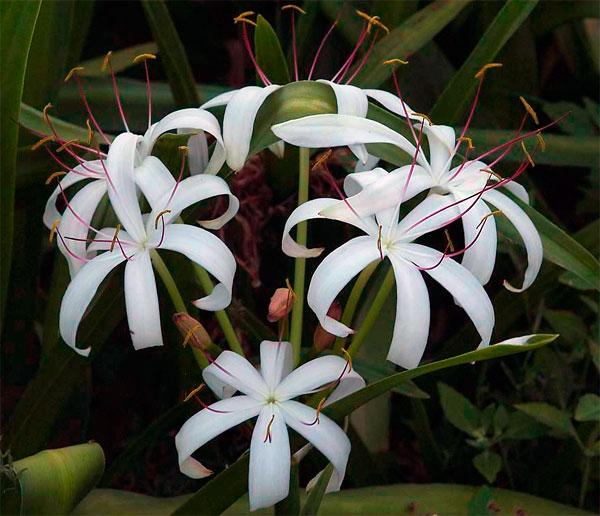 Фото цветов азиатского кринума